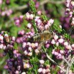 Arı Poleni nedir ne işe yarar?